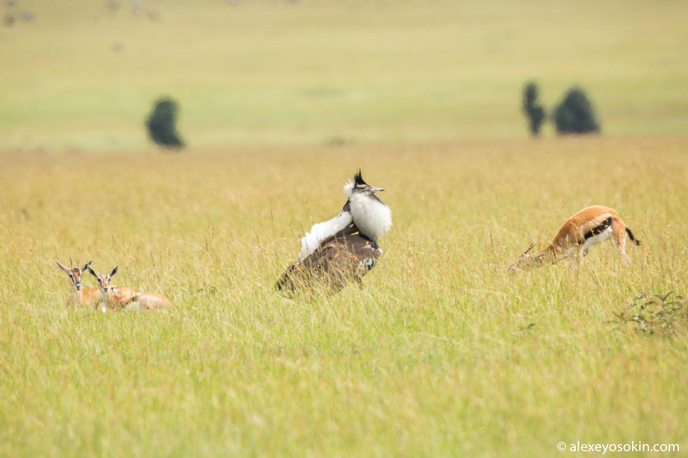 Самая большая птица Африки дрофа, самца, гепард, практически, только, написать, кошек, жизнь, много, PENTAX, подряд, может, газелей, Обычно, дрофы, напугать, страус, конечно, хотел, нападения