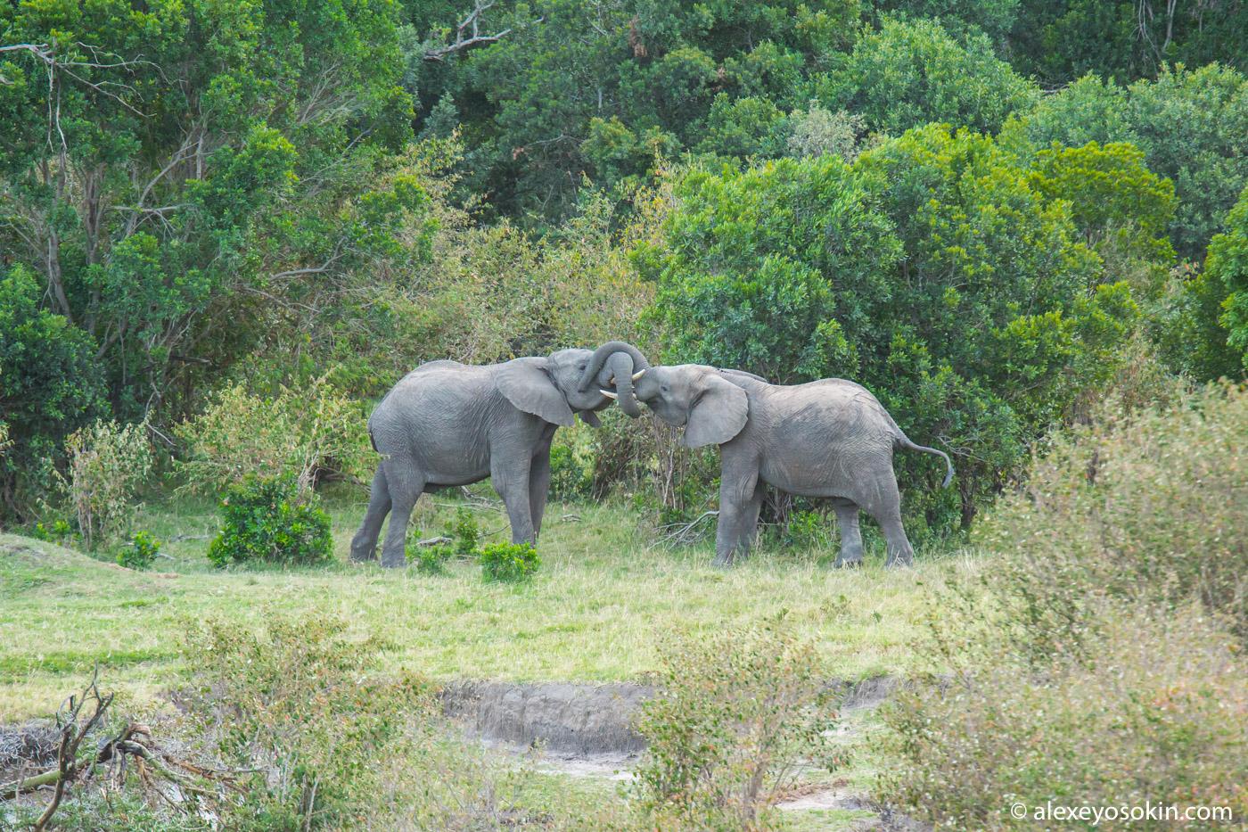 Как два слона хоботами мерились...