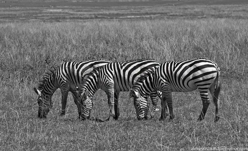 zebra_1_832
