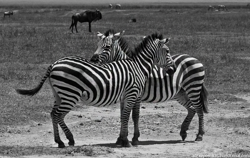 zebra_2_832