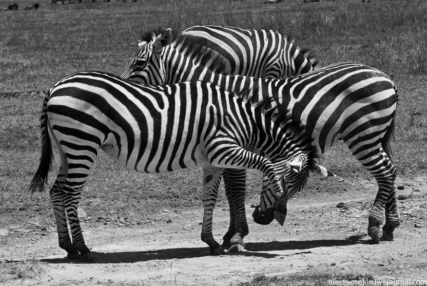 zebra_5_832