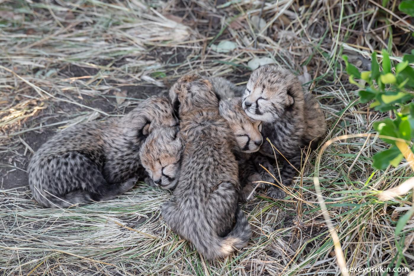 Самые няшные котики. Новорожденные гепарды.