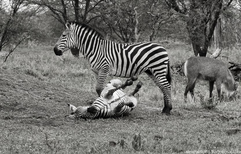 zebra_6_832