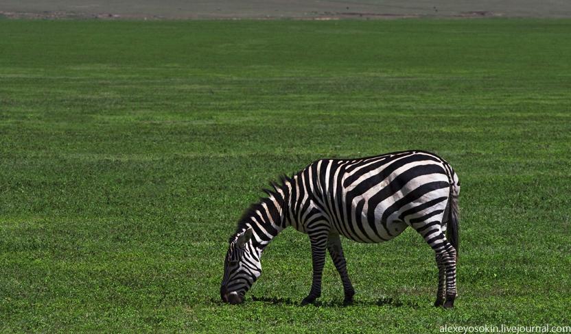 zebra_7_832