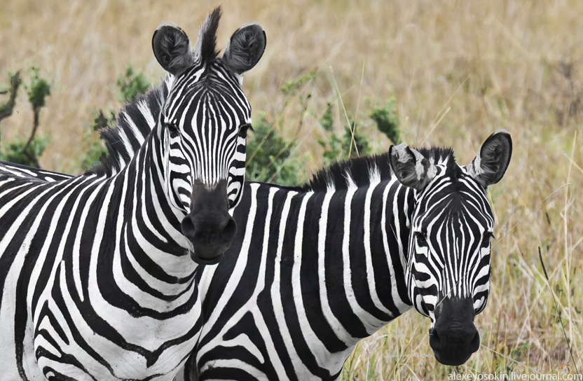 zebra_main