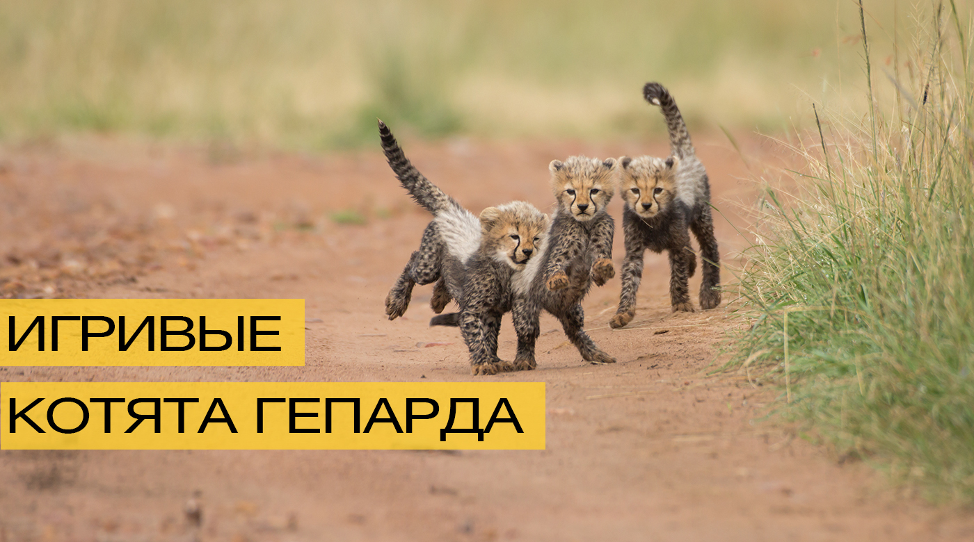 Котята гепарда для поднятия настроения