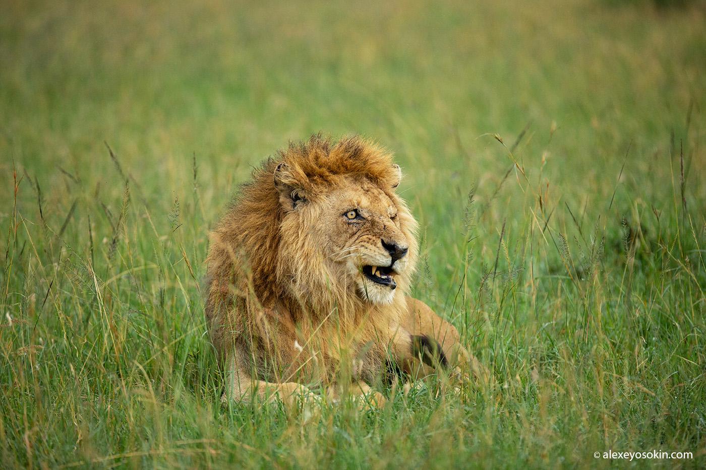 Чего боится лев