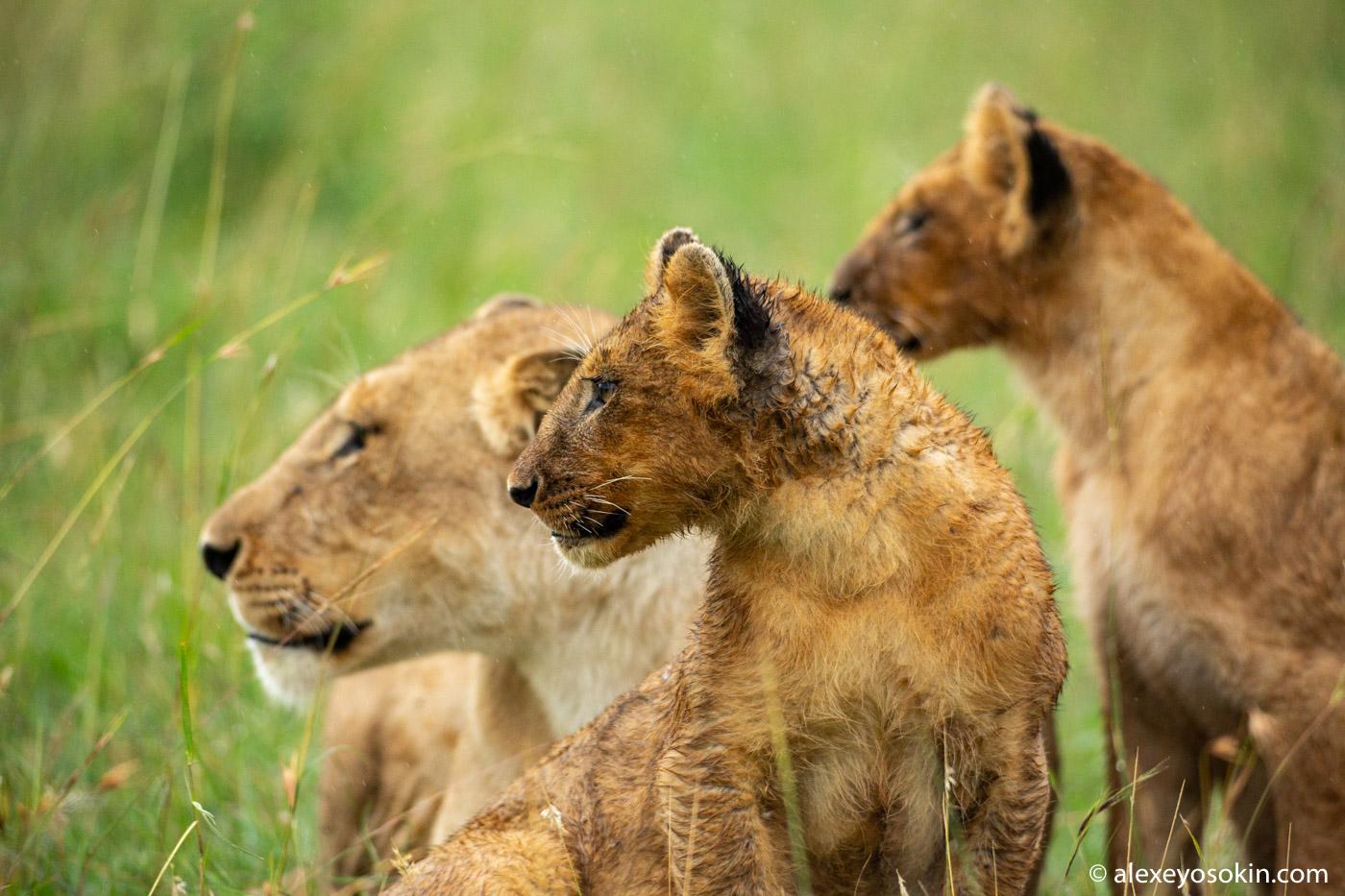 Львиные истории Масаи-Мара. Мило и жестоко.