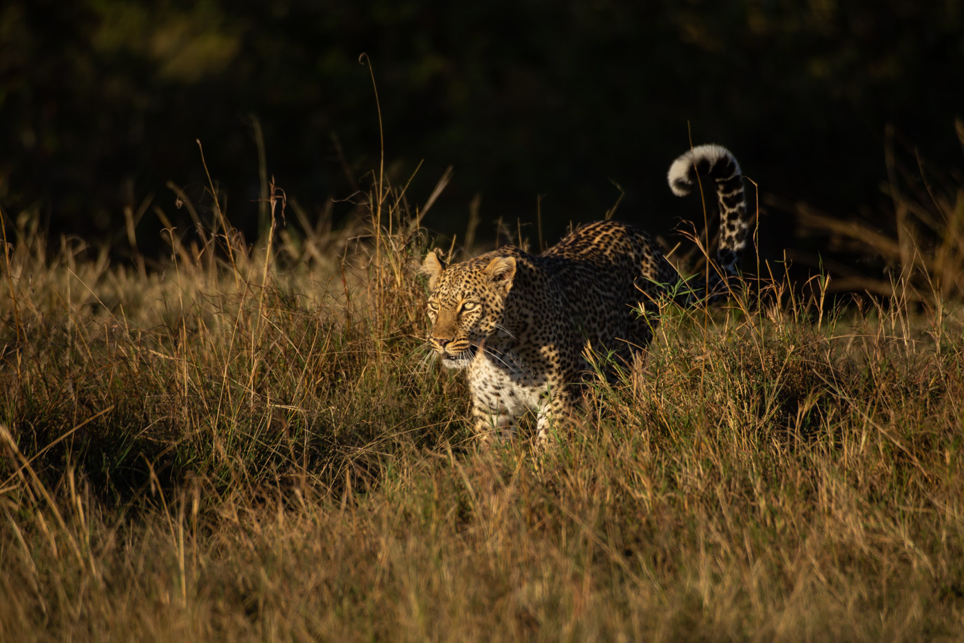 Тайная жизнь леопарда