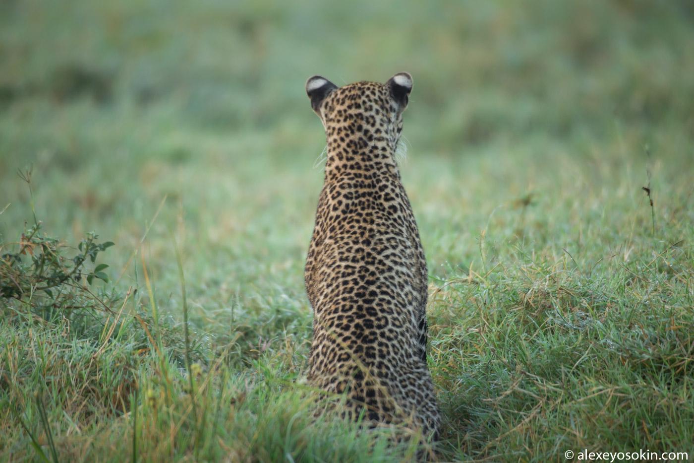 Тяжелая утрата и горе леопарда...