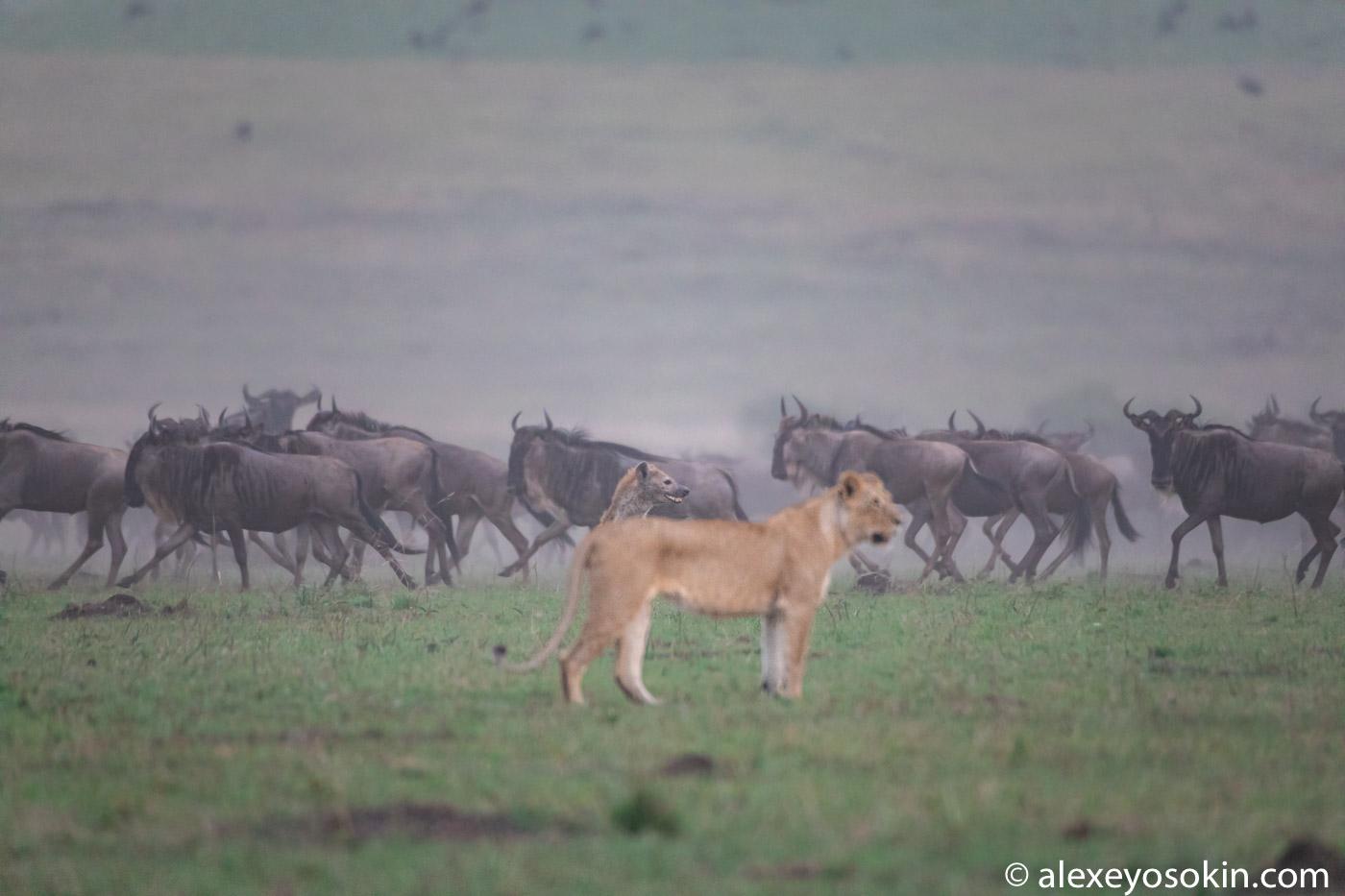 Лев и гиена - заклятые враги охотятся вместе?..