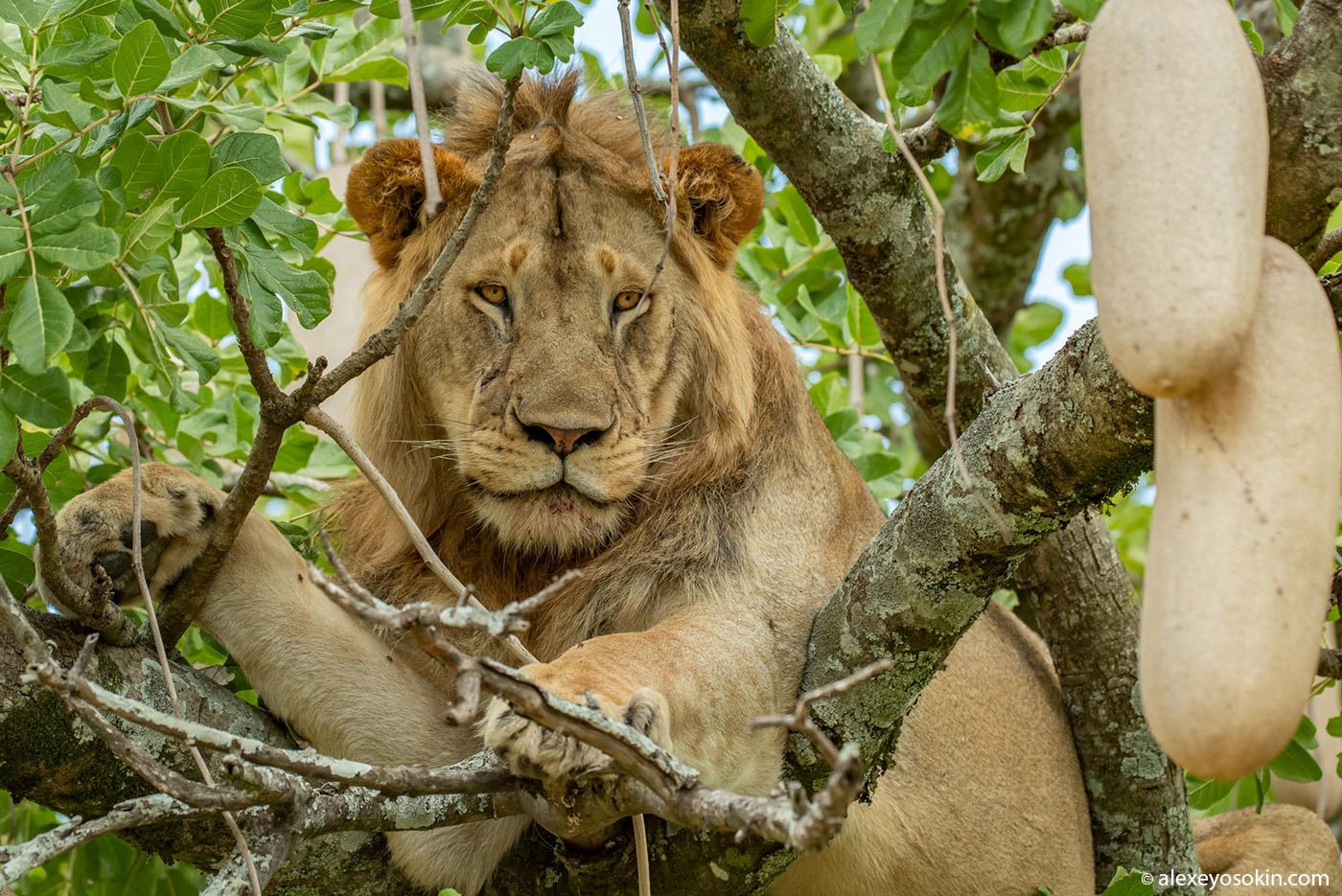 Зачем лев залез на дерево