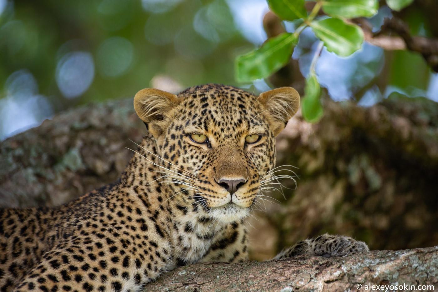 Убийственная красотка Кали... Продолжаем, лучше, съемке, Спокойная, уверенная, молоденькая, самка, леопарда, пожалуй, модели, фикуса, найти, Подписывайтесь, обновления, чтобы, узнать, дикой, природе, приступил, огромного