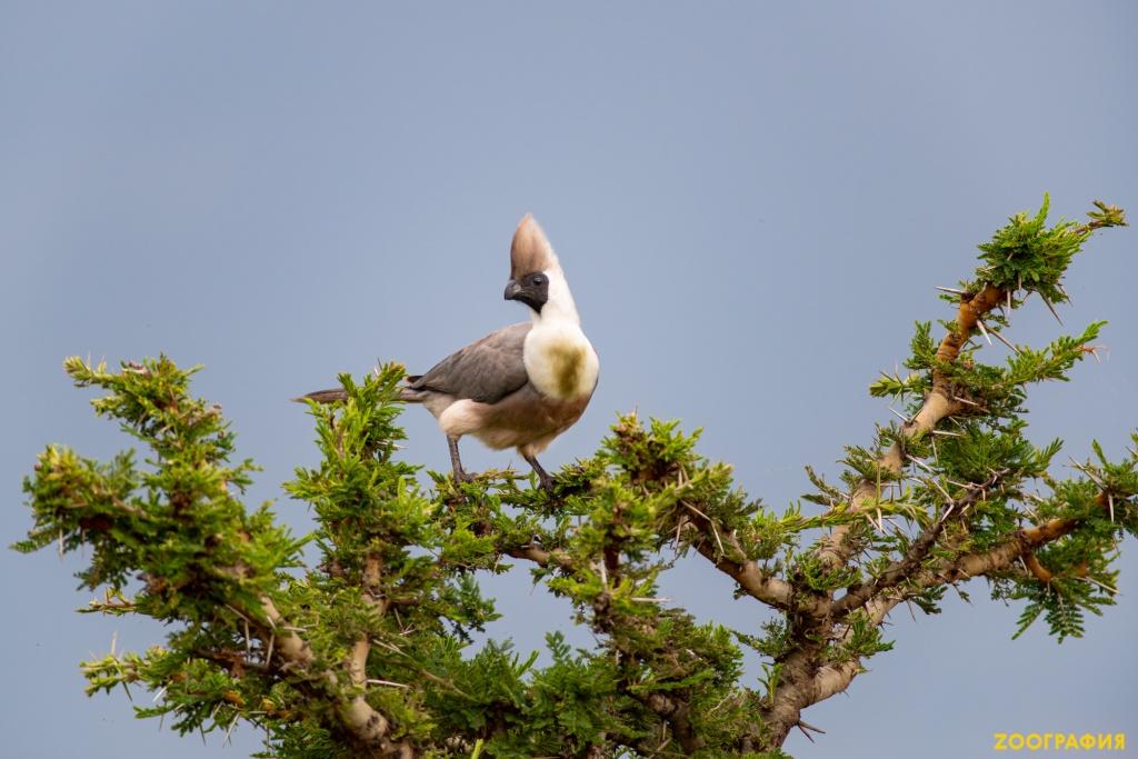 Птица, которая кричит человеческим голосом. Гологорлый бананоед.