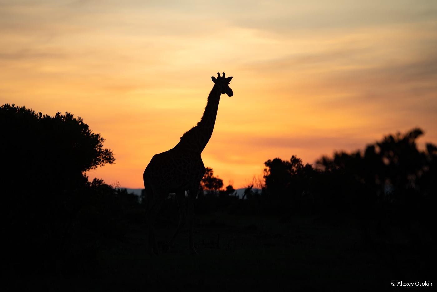 giraffe_sunrise, nov.2019_ao-5.jpg
