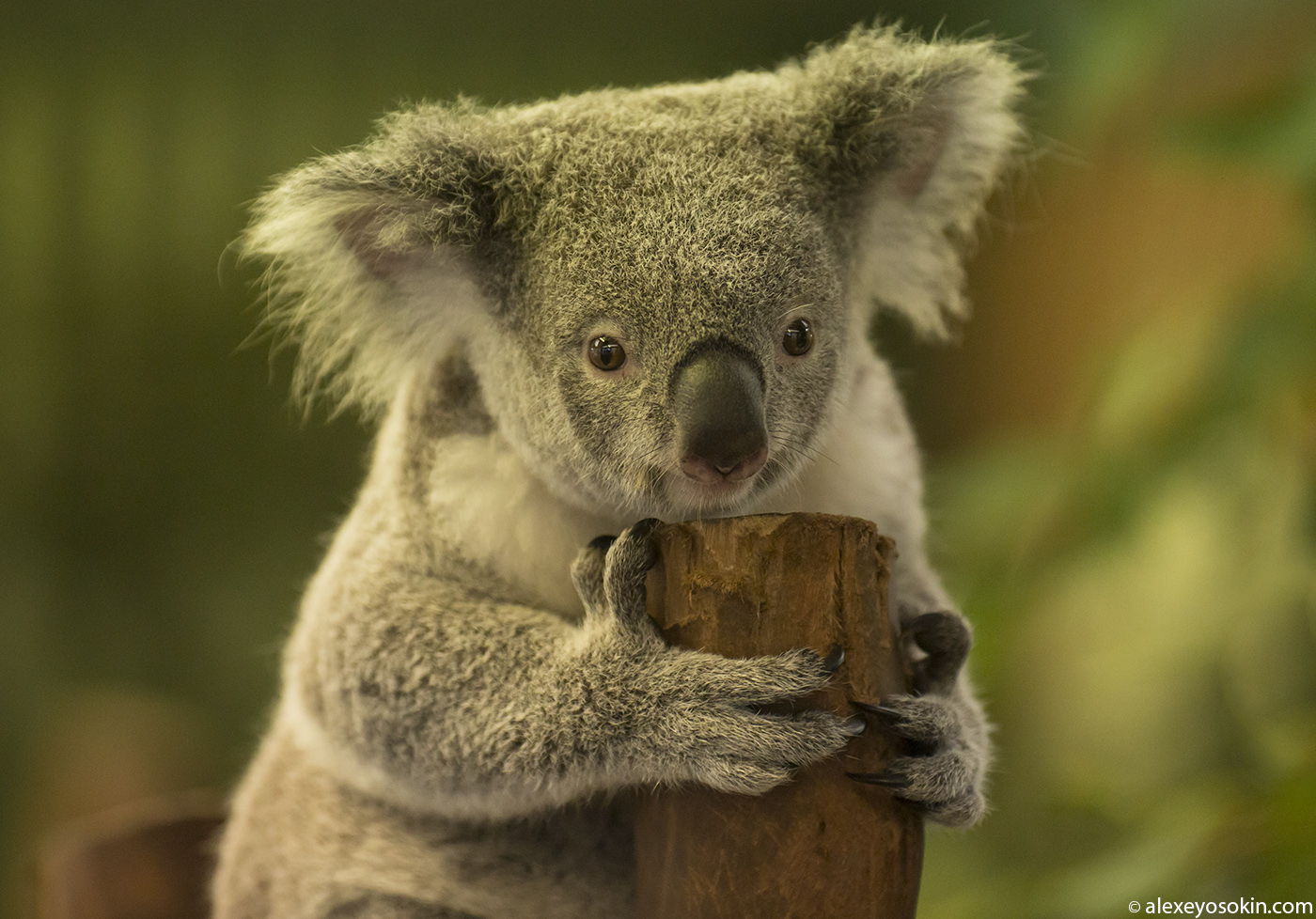 koala_5_ao