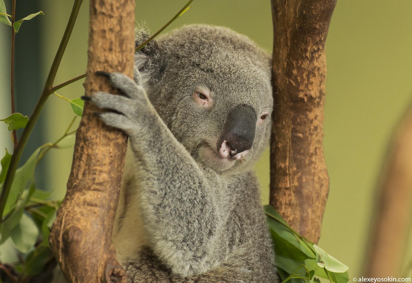 koala_1_ao