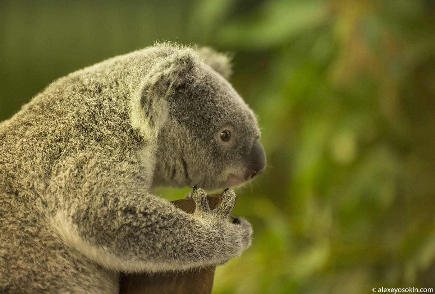 koala_2_ao