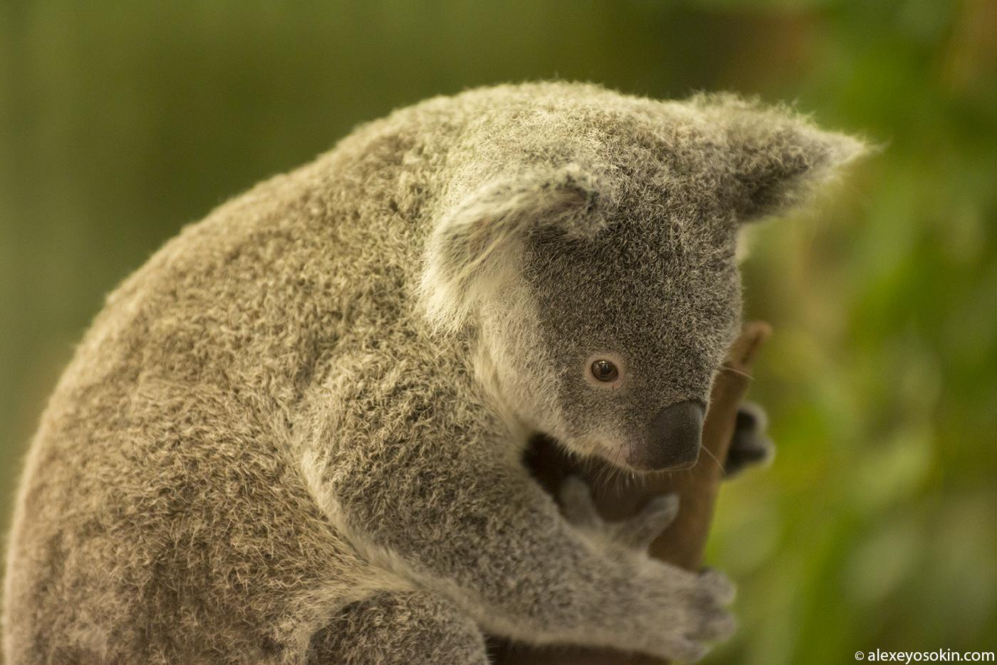 koala_3_ao