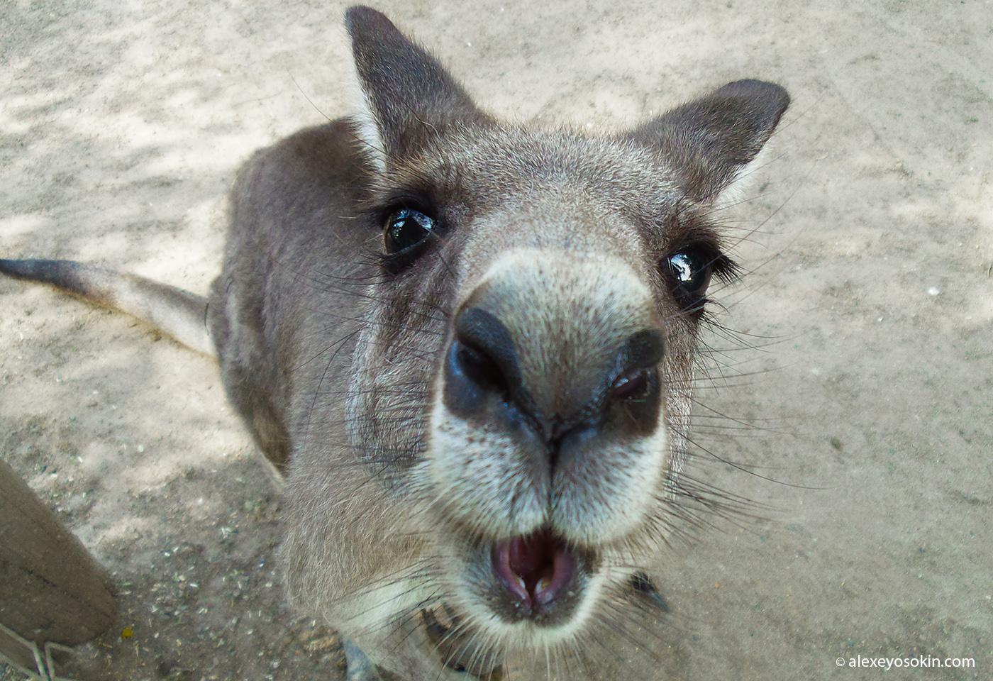 kangaroo_3_ao