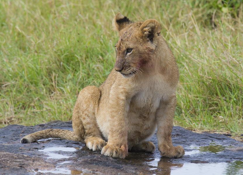 lion cub_1_