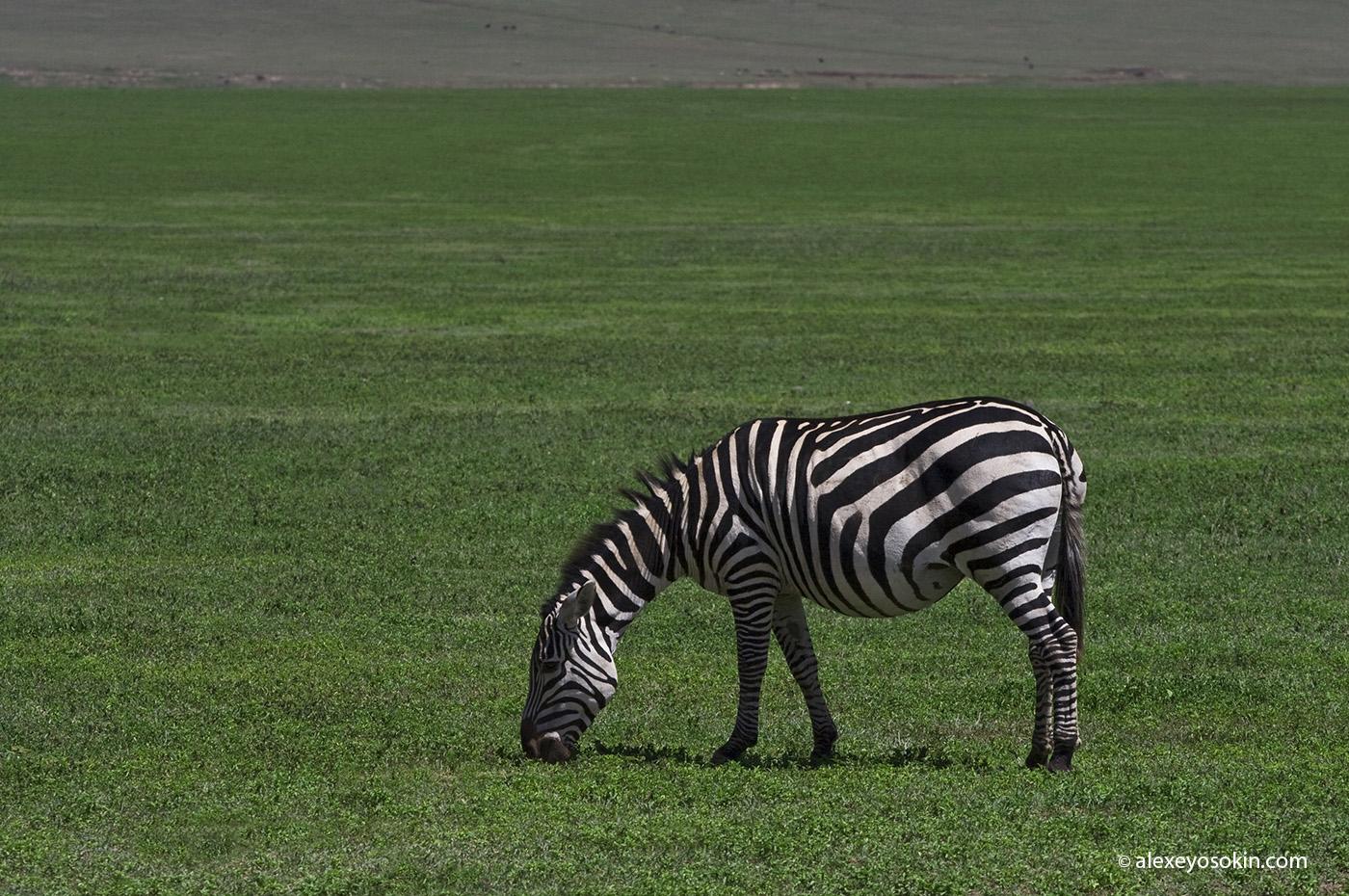 zebras_8_ao