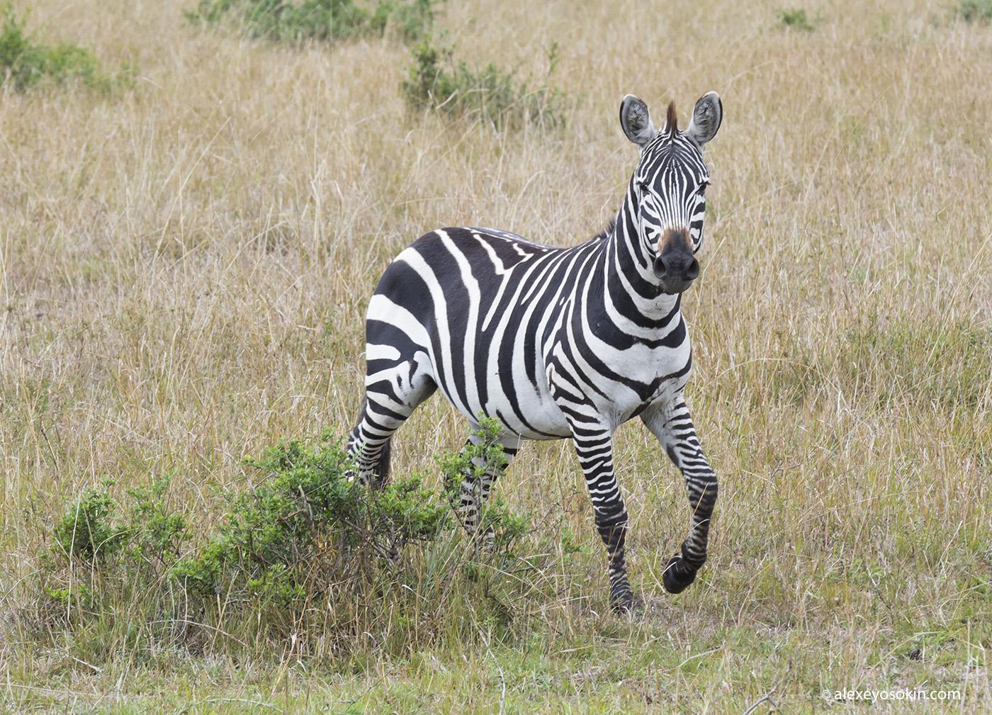 zebras_1_ao