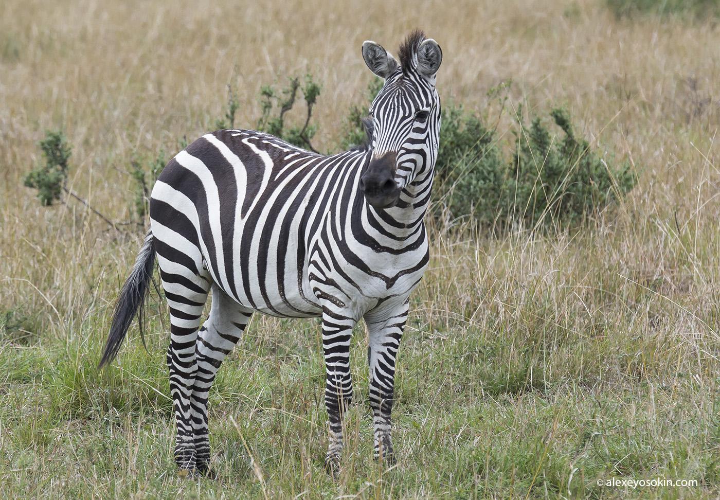zebras_2_ao