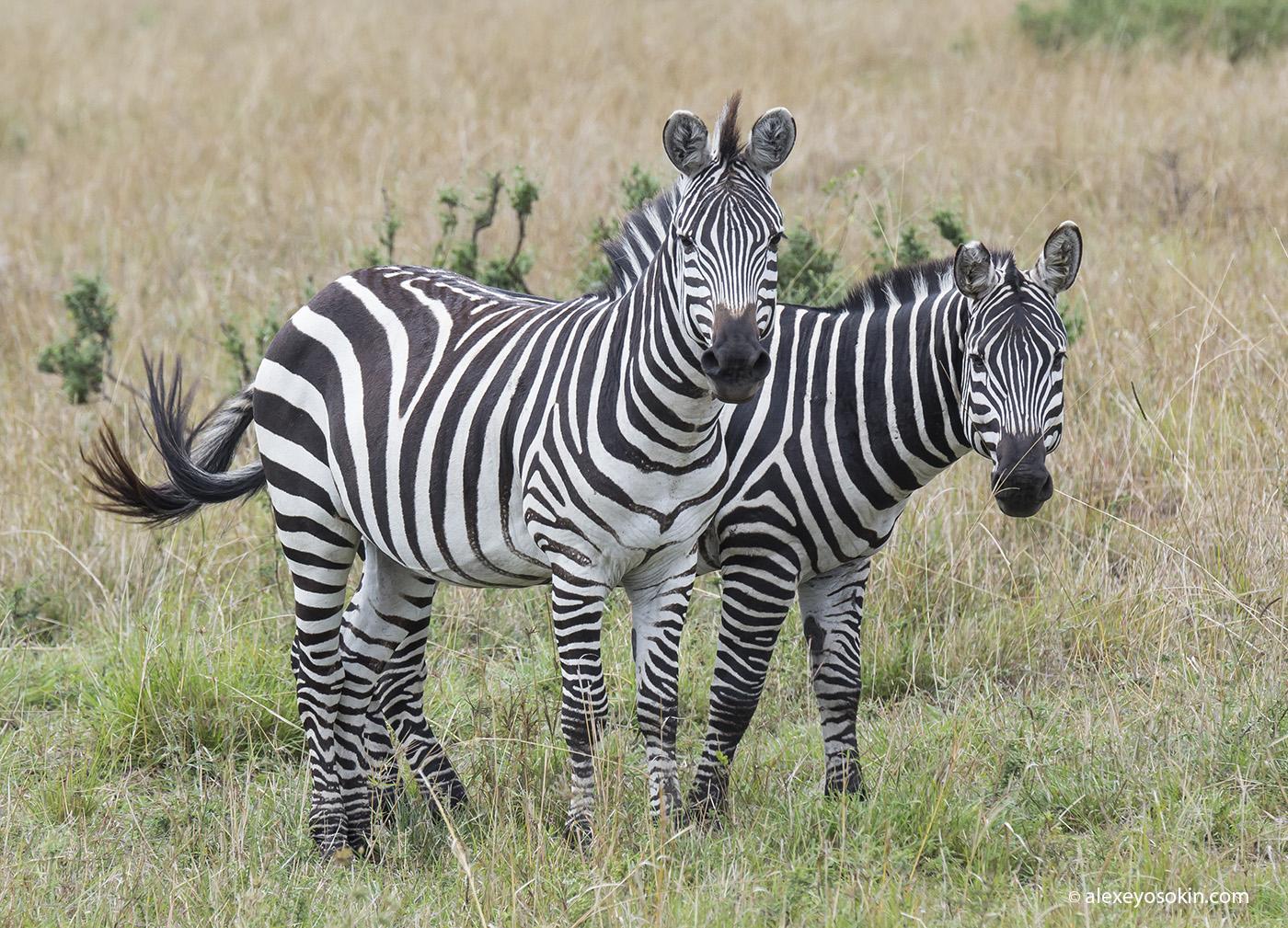 zebras_3_ao