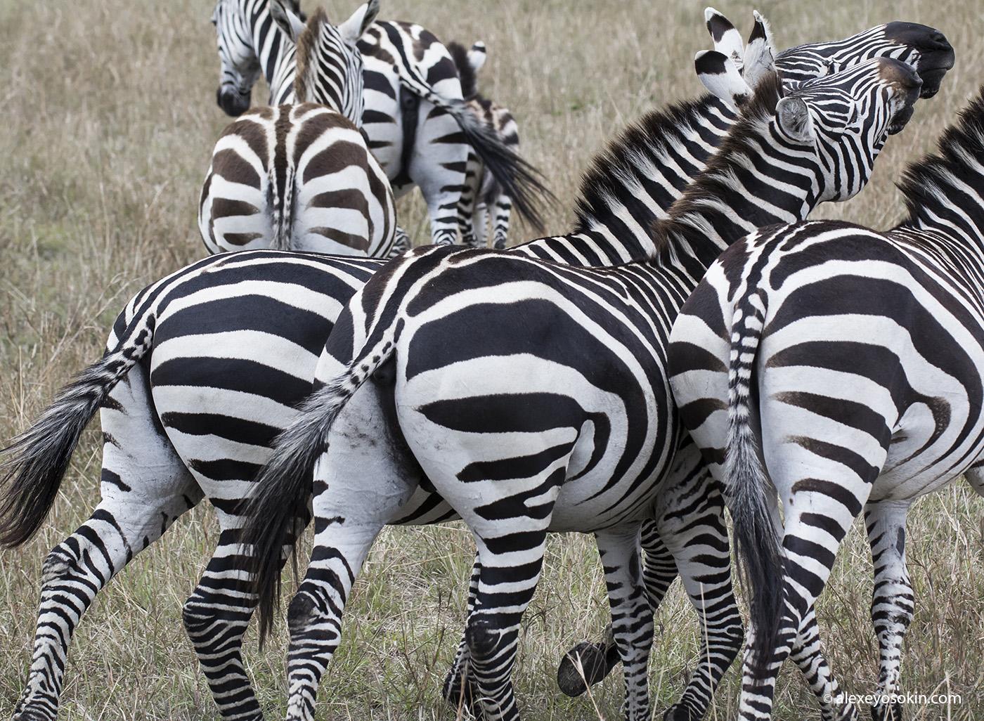 zebras_4_ao