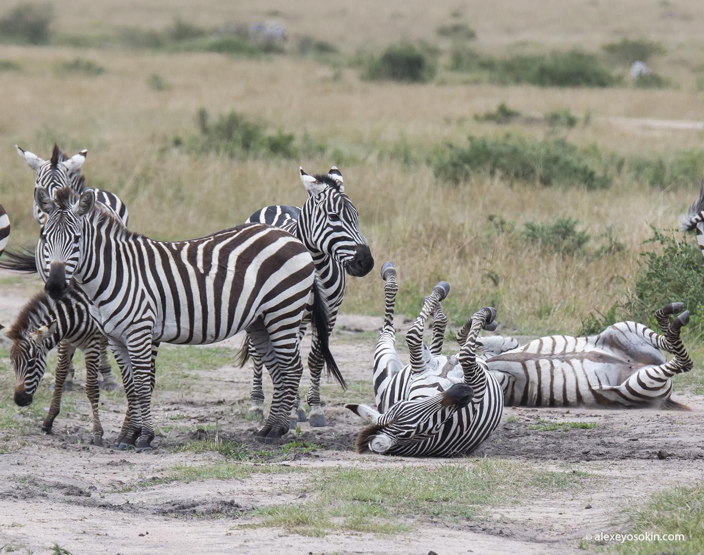 zebras_5_ao