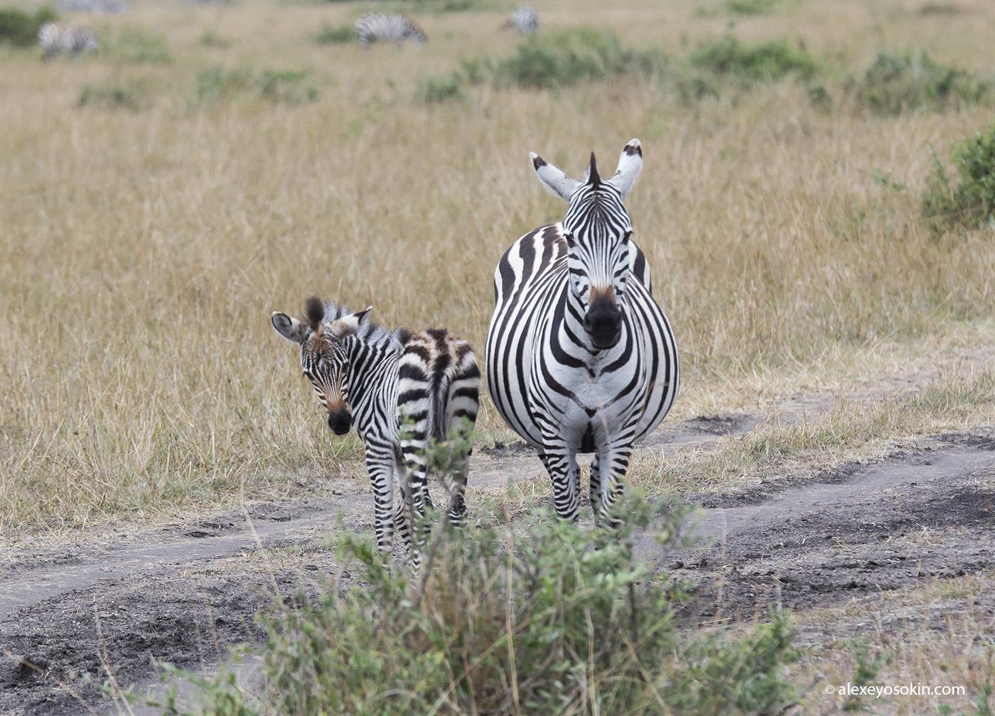 zebras_6_ao