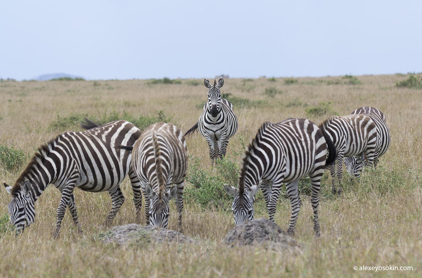 zebras_7_ao