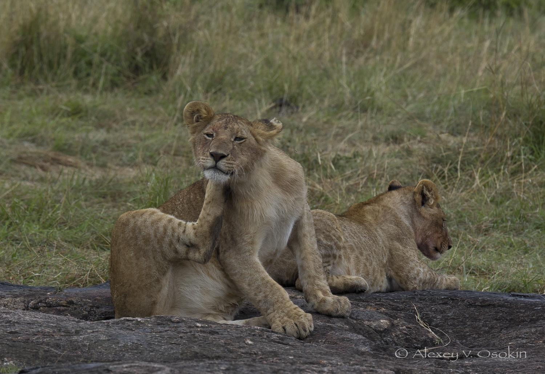 lion_4_sm