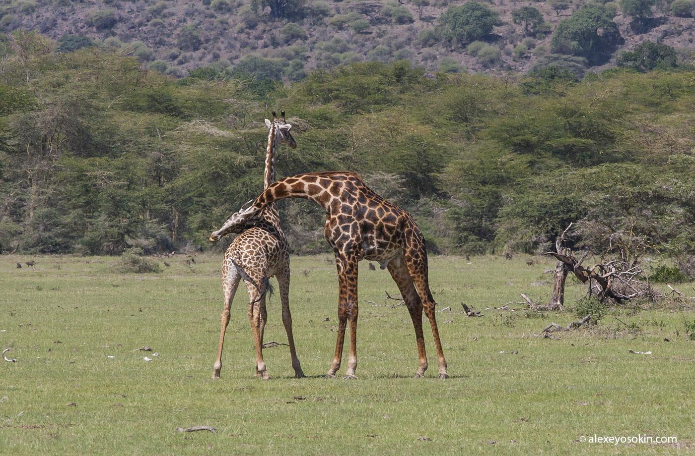 Какой длины у Жирафа?