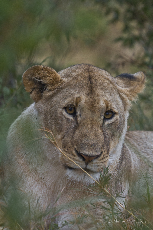 lion_1_sm