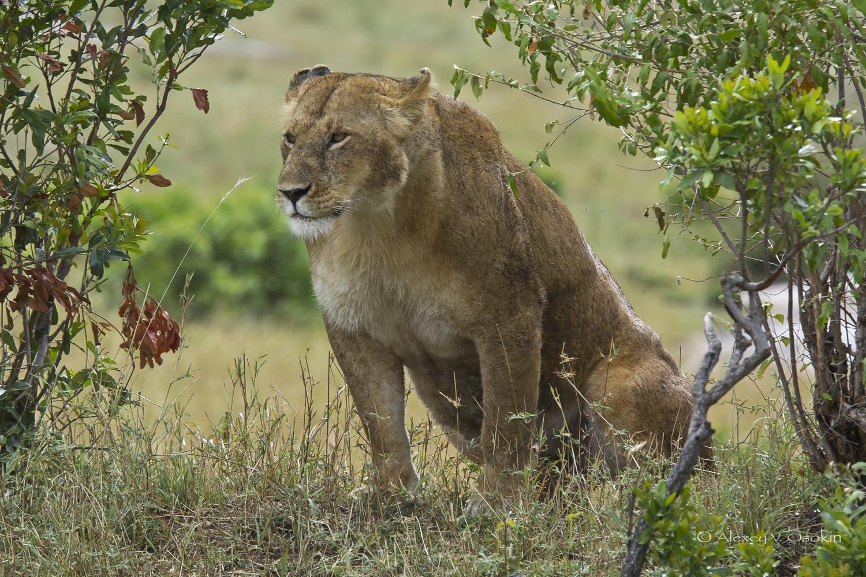 lion_8_sm