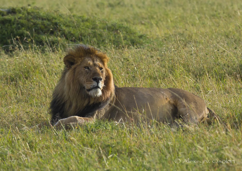 lion_9_sm