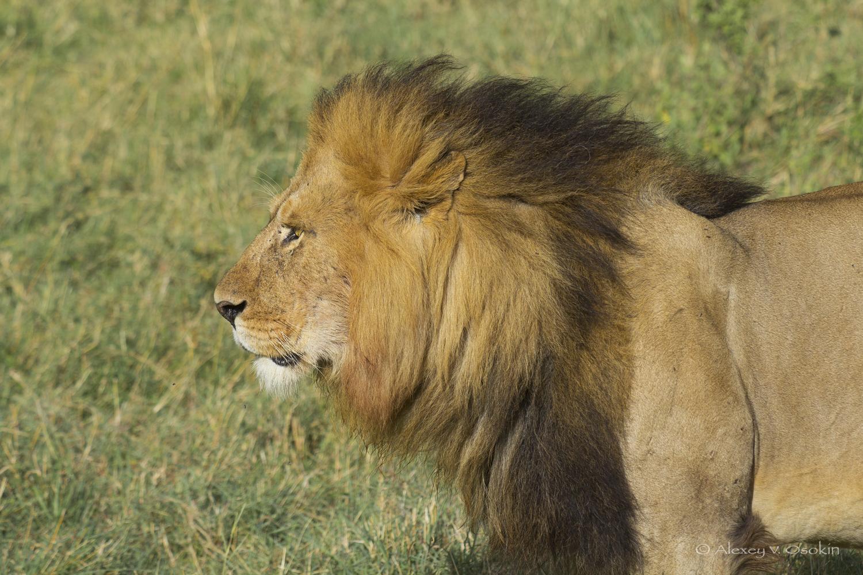 lion_10nc_sm