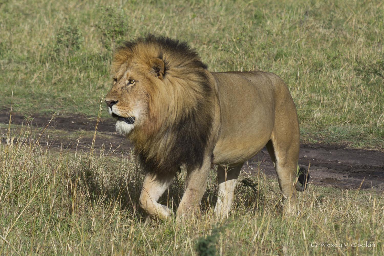 lion_11nc_sm