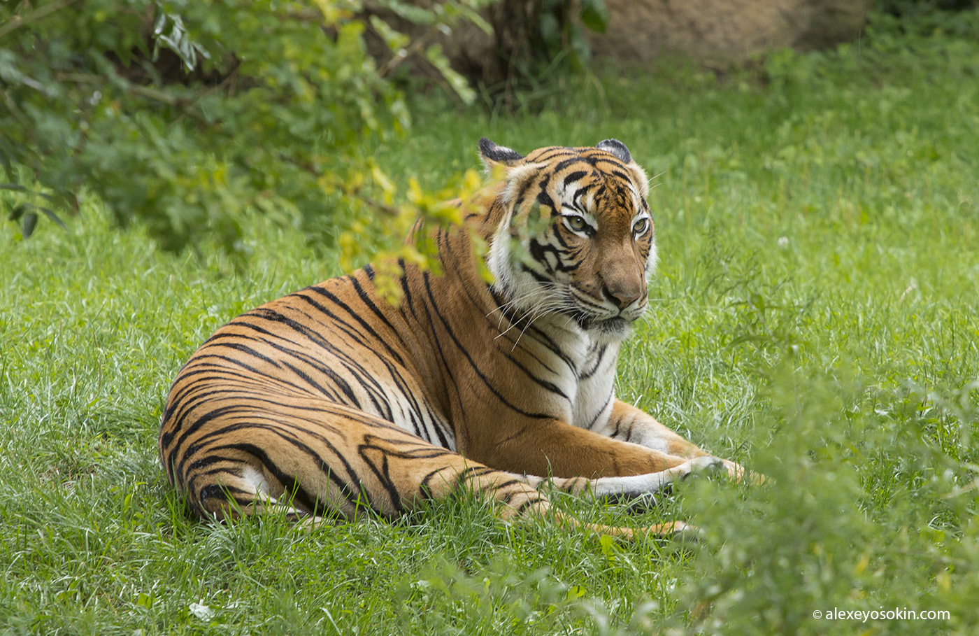 zoo_tiger_2_ao