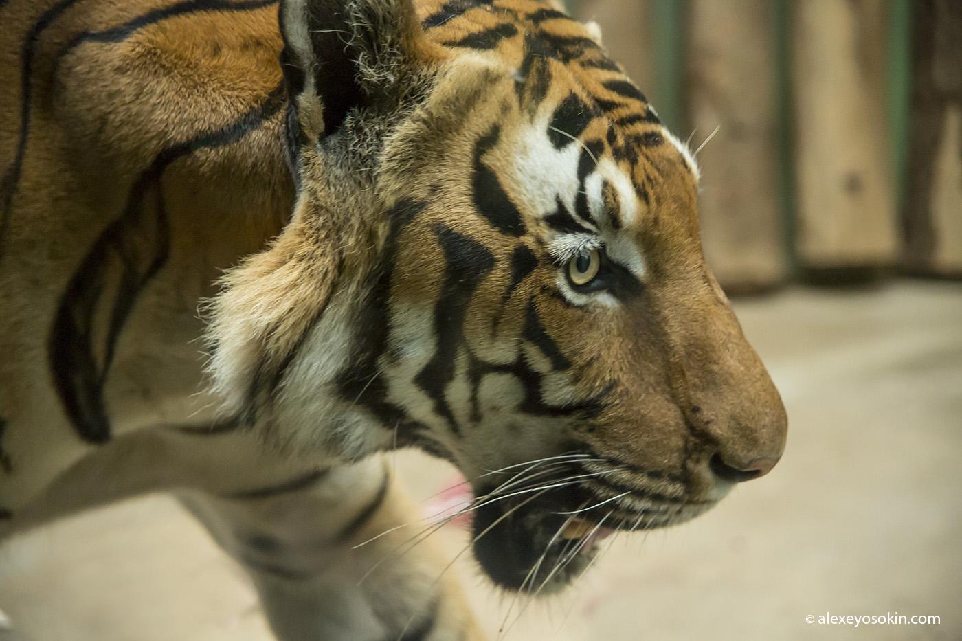 zoo_tiger_1_ao