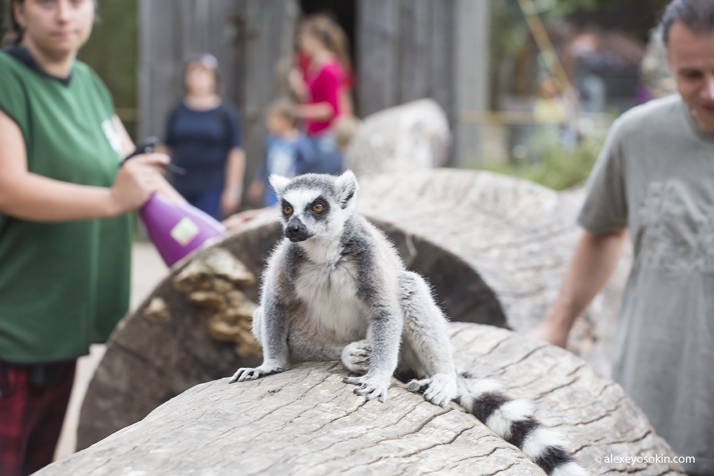 zoo_lemur_1_ao