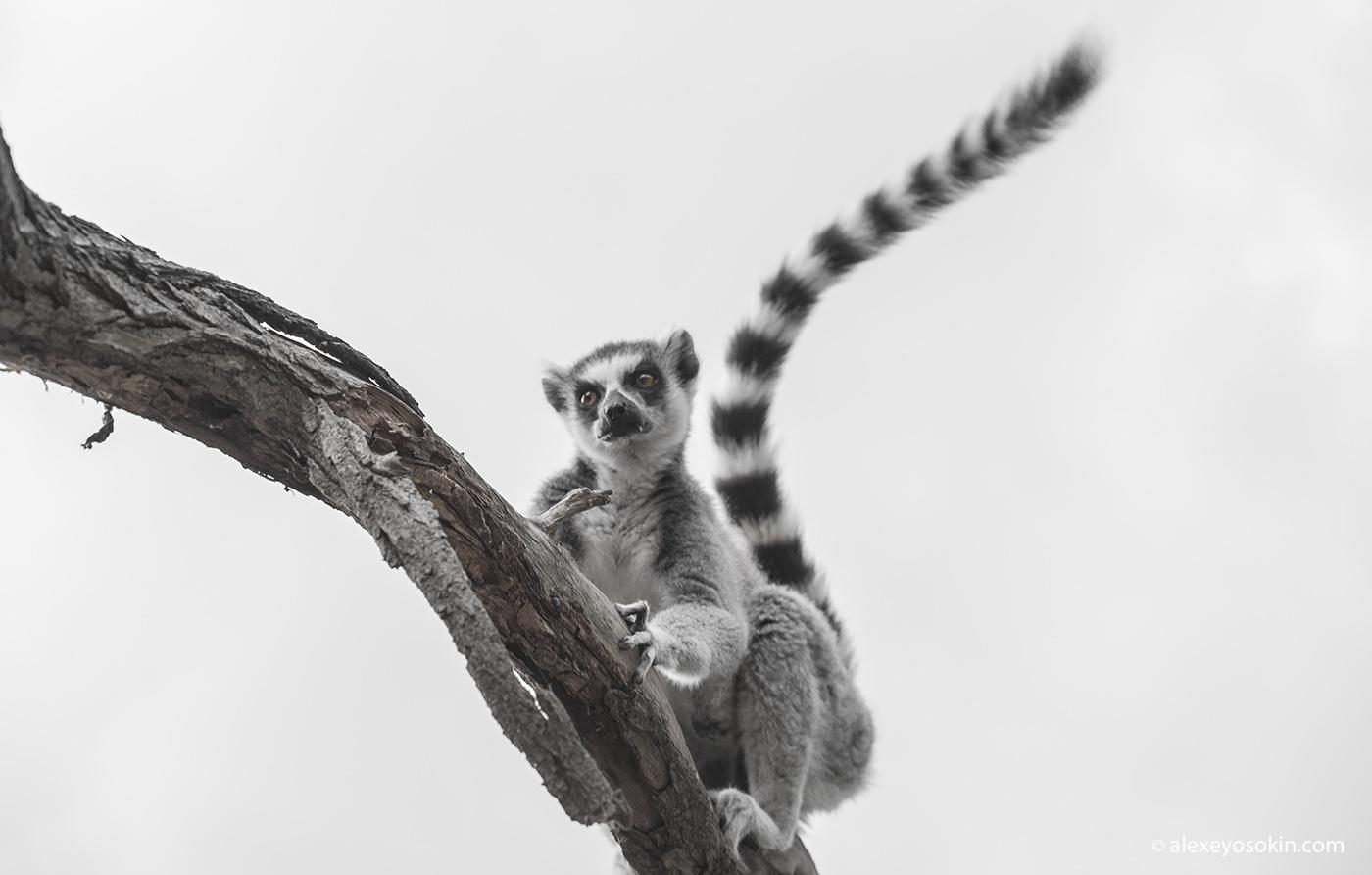 zoo_lemur_2_ao