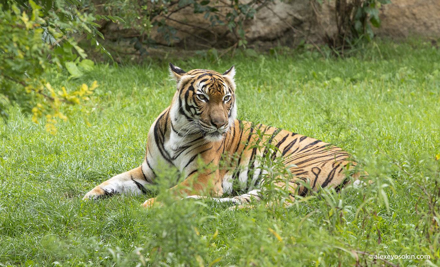 zoo_tiger_4_ao