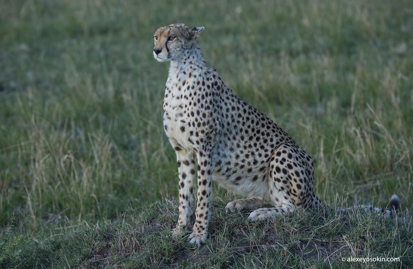 cheetah_02_ao