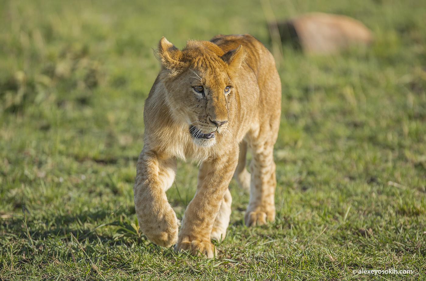 lions_masai_00_ao