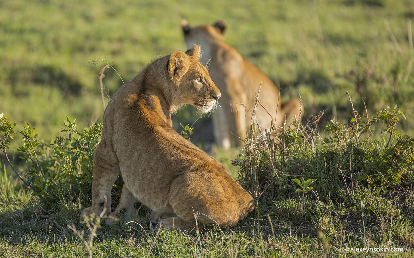 lions_masai_01_ao