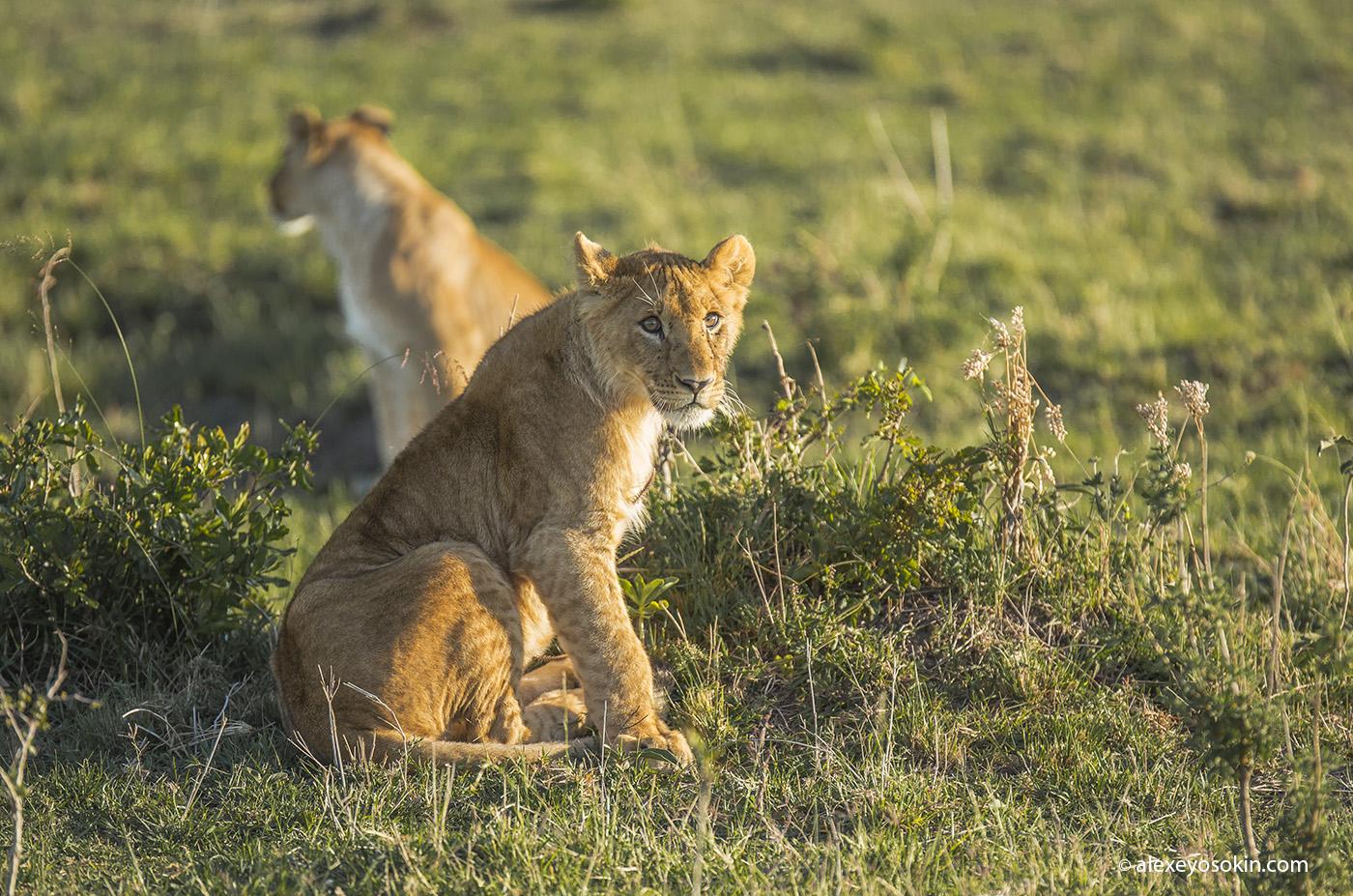 lions_masai_02_ao