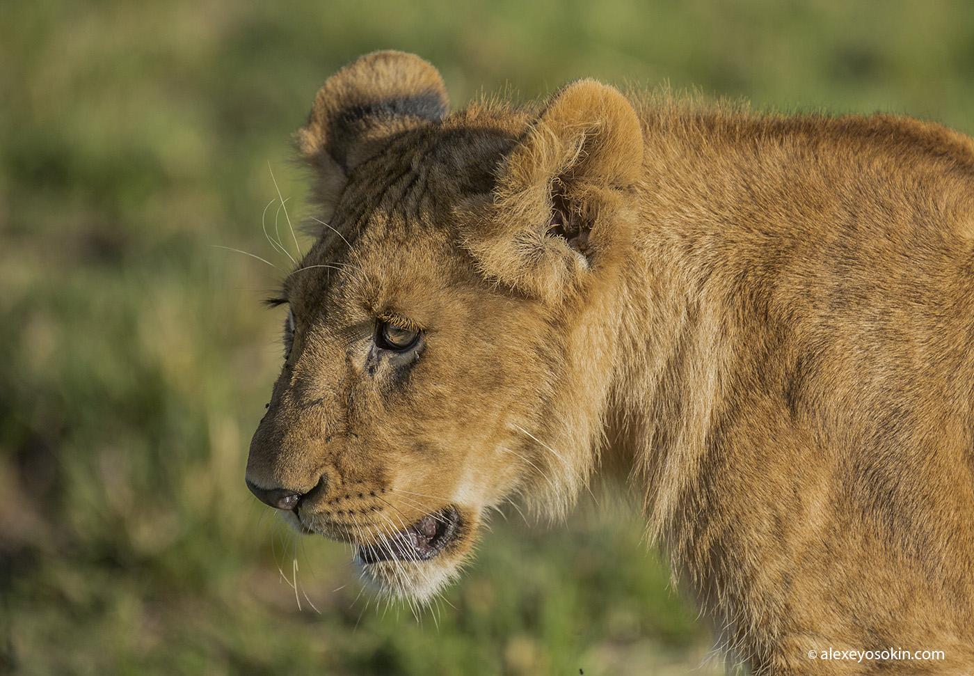 lions_masai_03_a0